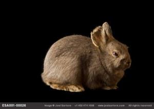 coniglio nano della Columbia